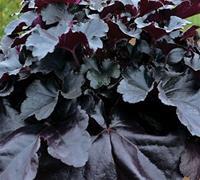 Nyhet 2018 Gr.Alunrot) Heuchera Black Pearl. Alunrot