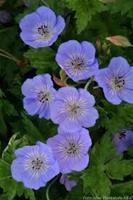 Nyhet 2021 Geranium Azur Rush Trädg.näva. Stora blå blr. Tålig.