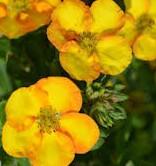 Nyhet 2021 Dasiphora Mandarin Tango Trädgårdstok. Orange / lite rött