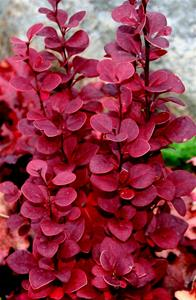 Berberis Otange Rocket