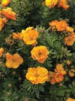 Trädgårdstok Marmalade     Ny 2020