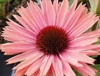 Nyhet 2021 Echinacea Rainbow Solhatt