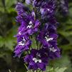 Delphinium Delphina  Dark Blue White Bee