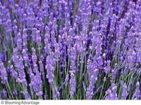 Nyheter 2021 Lavandula intermedia Phenomenal Lavendel. 50 cm.