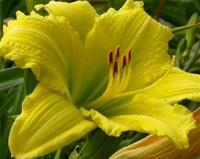 Daglilja Green Flutter    60 cm