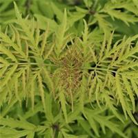Sambucus racemosa Lemony Lace  Ny 2020