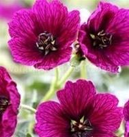 Silkesnäva Jolly Jewel Purple. Jewelgruppen ca 15 cm Maj-Sept