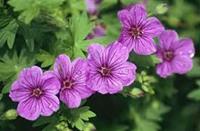 Nyhet 2021 Geranium sang. Dilys Blodnäva, rosa ca 15 cm
