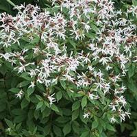Årets Perenn 2020 : Gillenia trifoliata. Trebladsspira.