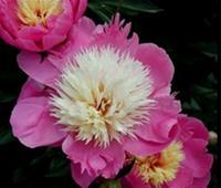 Paeonia Bowl of Beauty. Luktpion