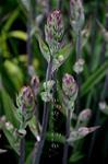 Grönlilja Zig elegans 40-45 cm Juli-aug Ett fåtal