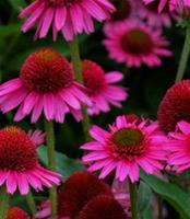 Solhatt) Echinacea Delicious Candy. Solhatt.