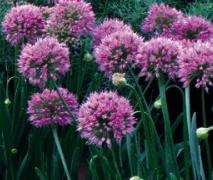 Allium-millenium Långblommare1