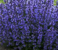 Nyhet 2021 Nepeta Purrsian Blue Nepeta, blå Ca 30 cm