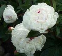Luktpion Festiva Maxima Paeonia lactiflora 70-80 cm. Juni–Juli Slut