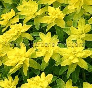 73a   Euphorbia polychromawtmk