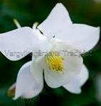 Akleja Spring Magic Dvärgakleja vit 40 cm