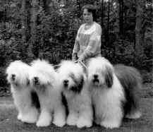 Footprints hade även uppfödning av old english sheepdog under drygt tio år på 80-90-talen. Här med fyra Footprints-utställningschampions.