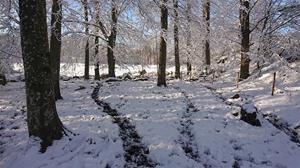 Bokskog i vinterskrud - med kostig
