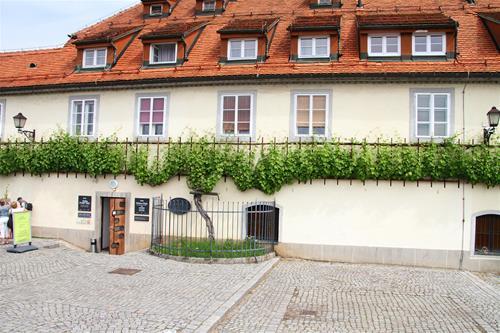 Världens äldsta vinranka. 400 år gammal.