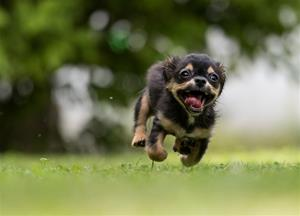 Hund springer