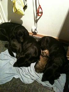 Trötta hundar