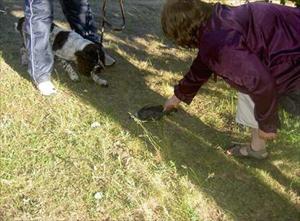 Lina intar jakt och lekställning vid valp apportering