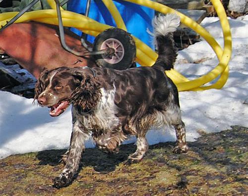 Rufus i sprinter tagen