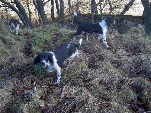 Vanja springer efter Lea och Kiwi i fält söket