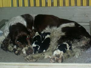 Tindra med nyfödda valpar
