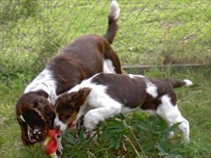 Compis (storebror) leker med Kiwi hwmma i hundgården hos Lotta