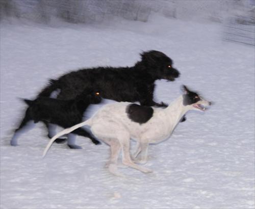 våra hundar 2010-01-14 066nikkivallepadda