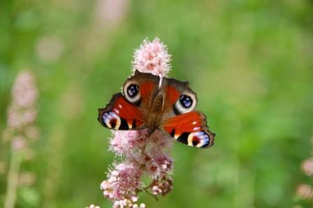 Fjäril Påfågelöga..vackert namn