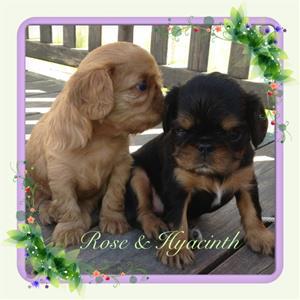 Rose & Hyacinth