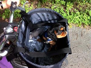 Charlie på premiärtur i sin nya fina cykelkorg