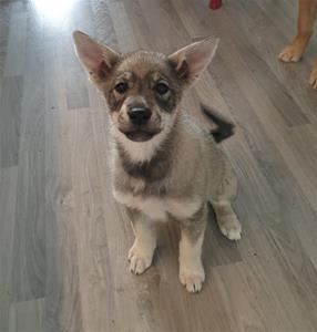 Yaxza 9 veckor. Hoppas hon växer i dessa öron.