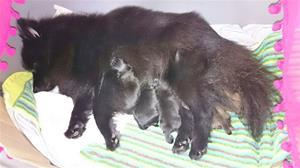 Siba med sina nyfödda valpar.