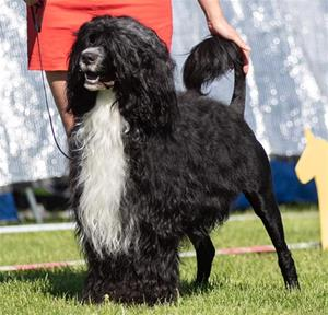 SE UCH SE VCH Biley's Alfa Atrix. (Portugisisk vattenhund)