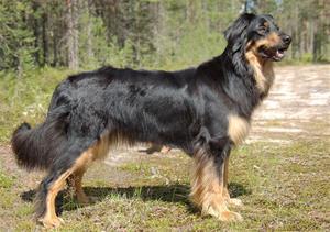 Elliegårdens Viska (Hovawart) Ägare: Cecilia Stenvall Bäckelin, Sveg.