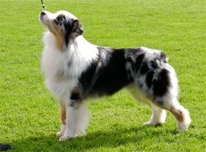 NO UCH Missnutt's Harmony Chuck (Australian Shepherd)