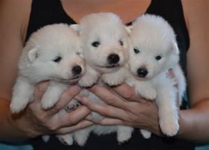 hanarna 3 veckor från vä vit, ljusblå, svart