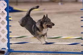 Agility finns för alla storlekar på hundar.