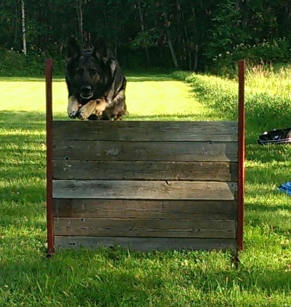 Hunden lär sig hoppa på kommando
