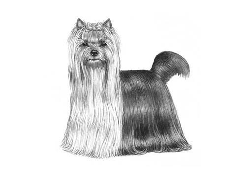 yorkshire-terrier---086_800