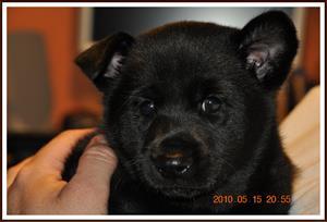 2010-05-15 Kaxa 6 veckor gammal. Ena örat har nu ställt sig upp. Väger 3 kg med gips.