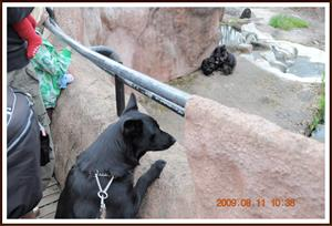 2009-08-11 Dixy kollar in schimpanser i Furuviksparken