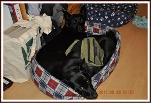 2011-06-23 De har var sin säng, men ska ligga i samma. Kaxa har en klövjeväska på sig