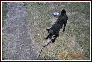 2011-04-18 Dixy har fått tag på en älgskank