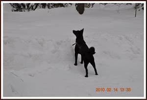 2010-02-14 Dixy sniffar efter något i skogen