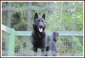 Nalle Norsk älghund svart